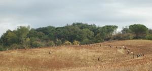 Pheasant drives